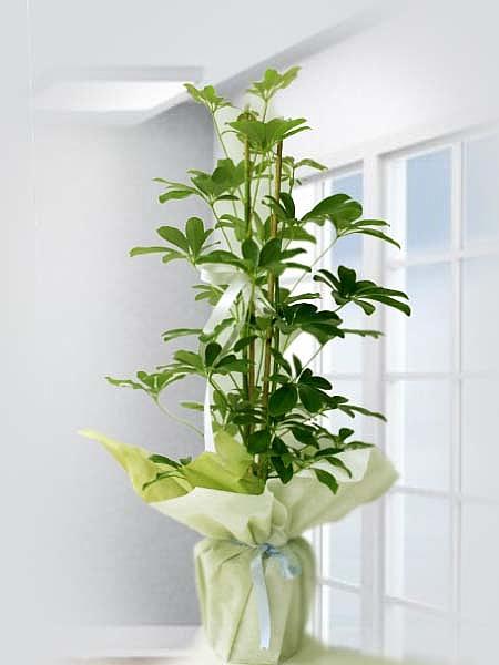 ŞHEFLERA------------kaynaklar çiçekçi