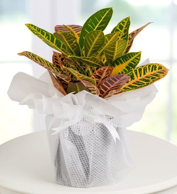 KRATON--kaynaklar çiçek şirinyer çiçekçi buca çiçek siparişi
